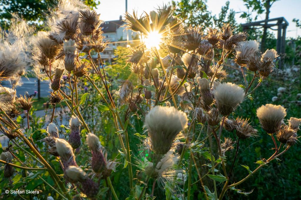 Sonne in Distel