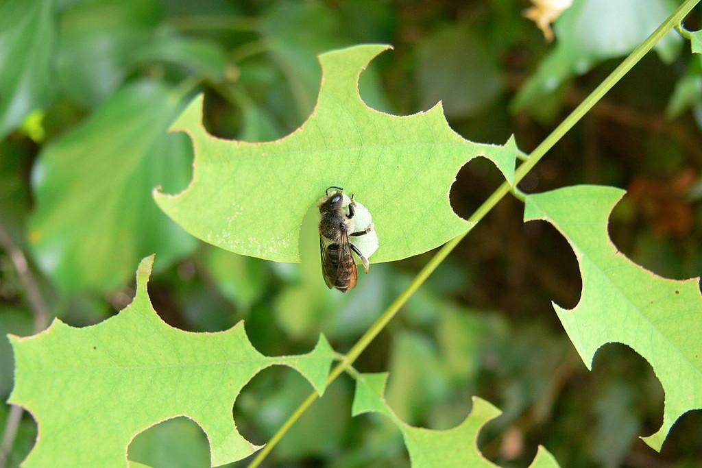 Luzernen Blattschneiderbiene