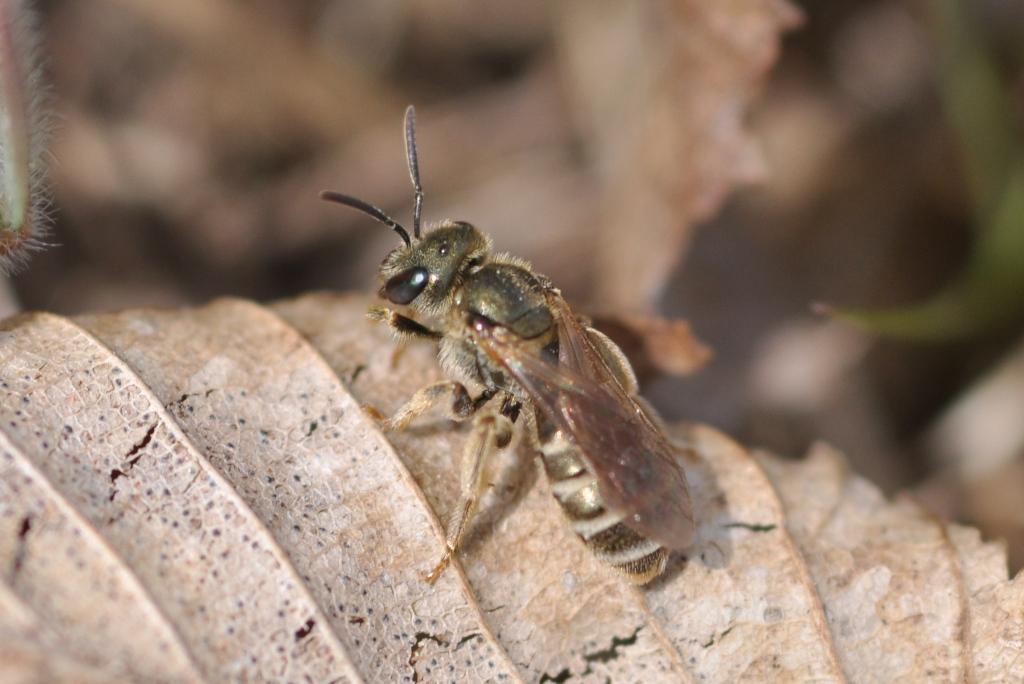 Gebänderte Furchenbiene