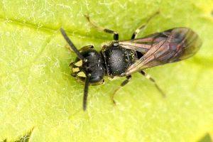 Maskenbiene auf Blatt