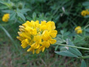 Sichelklee Blütenstand